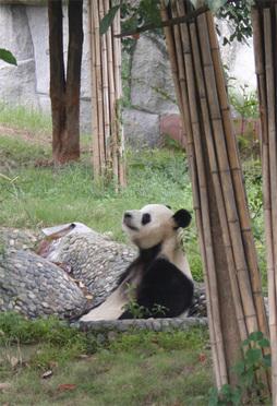 Lounging_panda